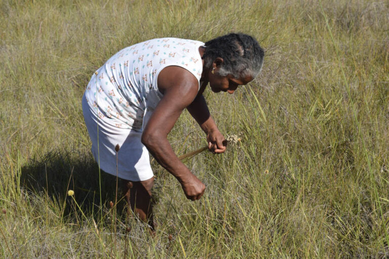Dona Isabel harvesting golden grass in the quilombola territory.