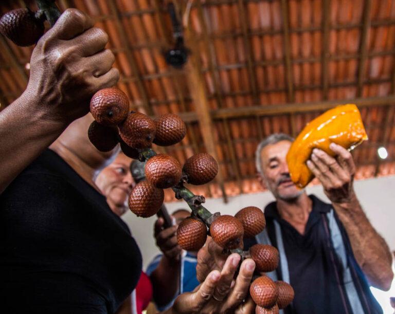 The native moriche palm fruit (buriti)